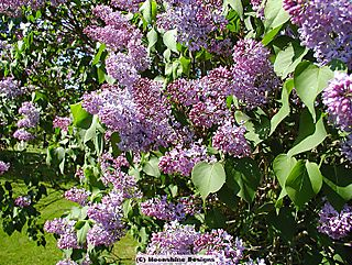 Purple lilac bloom close